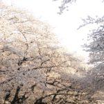 上野桜2014-3
