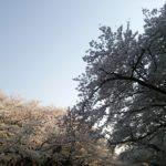 上野桜2014-2