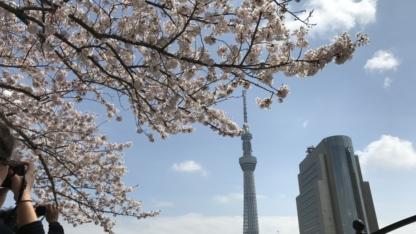 桜とスカイツリー(隅田公園)