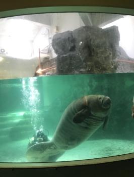新屋島水族館マナティ